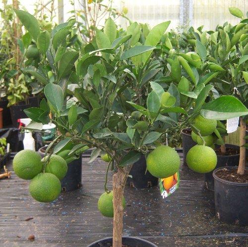 Orange Seeds Nursery Abu Dhabi: Cross Common Nursery Citrus Orange Tree Half Standard