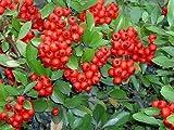 50 SCARLET FIRETHORN Pyracantha Coccinea Flower Shrub Bush Seeds