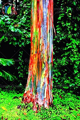 Seeds Bulbs Rainbow Eucalyptus Deglupta Seeds Rare Bonsai Tree Seeds 100pcs Bag Best Humanoutreachproject Org