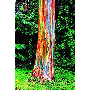 Hot Selling! 200/BAG rare Rainbow Eucalyptus deglupta, showy tropical tree, tree seeds for garden planting baby and lover like 135
