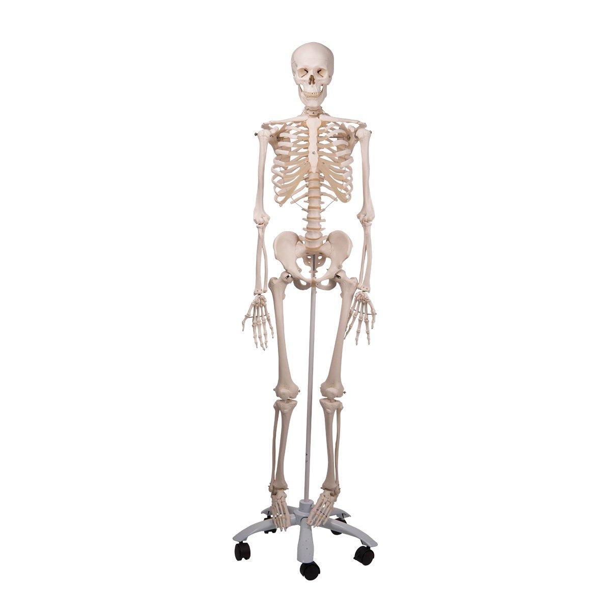 Standard-Skelett auf 5-Fuß Rollenstativ: Amazon.de: Alle Produkte