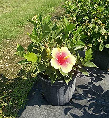 Amazoncom Florida Sunset Hibiscus Plant Indoors Or Out 6 Pot