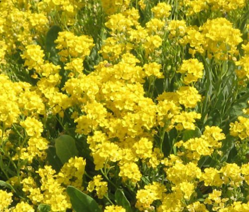 2 500 Bulk Seeds Alyssum Basket Of Gold Perennial Aurinia Saxatilis