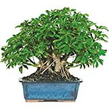 Dallas Bonsai Garden's Dwarf Hawaiian Umbrella Tree (Indoor) ZHU5