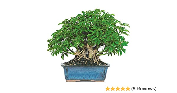 Exceptionnel Amazon.com : Dallas Bonsai Gardenu0027s Dwarf Hawaiian Umbrella Tree (Indoor)  ZHU5 : Grocery U0026 Gourmet Food