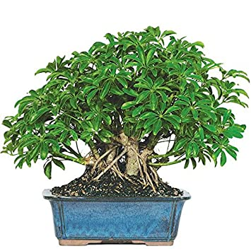 Merveilleux Dallas Bonsai Gardenu0027s Dwarf Hawaiian Umbrella Tree (Indoor) ZHU5