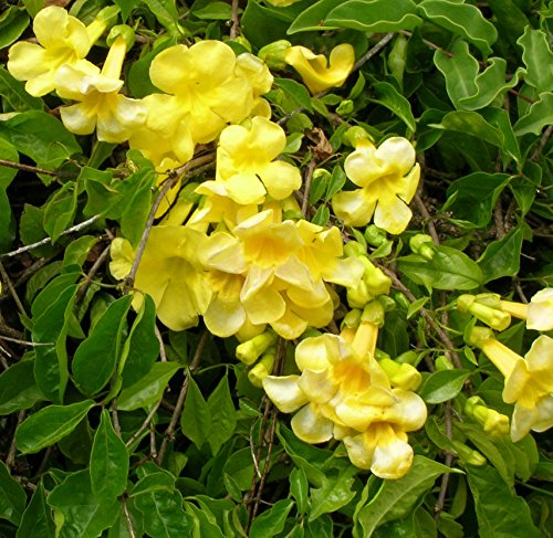 Yellow Trumpet Vine - Flava Creeper - Plant - Established Roots - 2.5