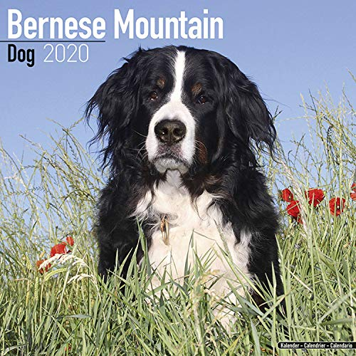 Bernese Mountain Dog Calendar - Dog Breed Calendars - 2019 - 2020 Wall Calendars - 16 Month by Avonside (Multilingual Edition) ()