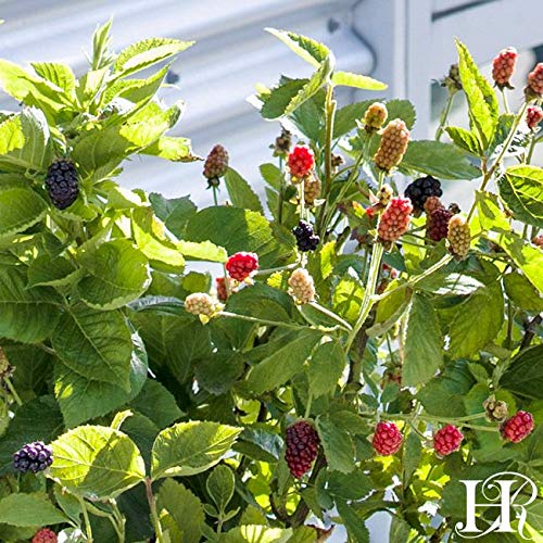 One Gallon Bushel and Berry Baby Cakes Patio Thornless BlackBerry by Heirloom Roses