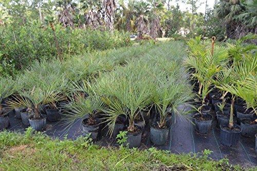 Butia capitata, Cocos Australis, Pindo Palm, Wine Palm, Jelly Palm - 3 Gallon Live (Pindo Palm Tree)