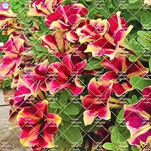 100 piezas raras Semillas Semillas Bonsai color Petunia flores corto Altura jardín perenne Flores Semillas de interior o de la planta de Ourdoor Pot 10