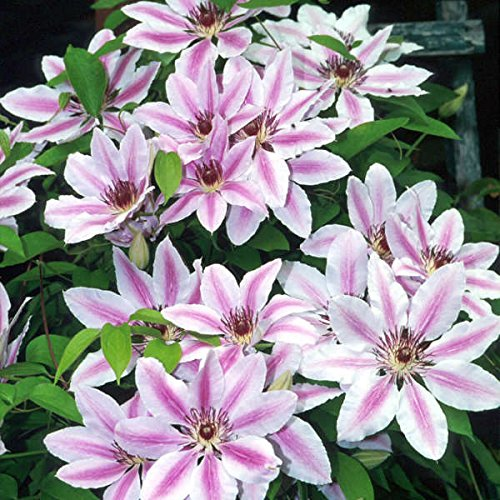 Nelly Moser Clematis> Clematis 'Nelly Moser'> Landscape Ready 1 Gallon Container