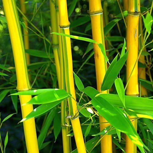 Calcutta Bamboo Grass Hardy Perennial Cicitar Garden China 20pcs Rare Moso Bamboo Giant Bamboo Evergreen Tree Seed Exotic