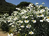 10 seeds of Romneya coulteri PERENNIAL Seeds