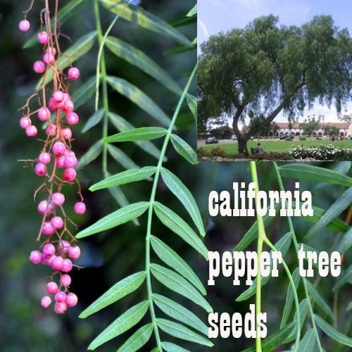 10 California Pepper Tree (California Pepper Trees)