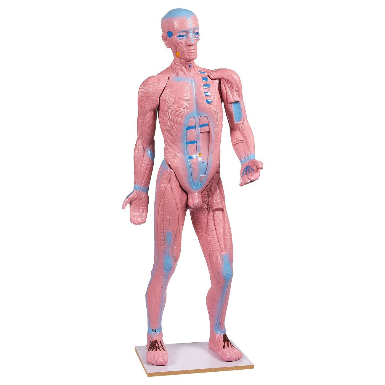 Human Muscle Anatomy Model - 30-Inch - Anatomical Muscular