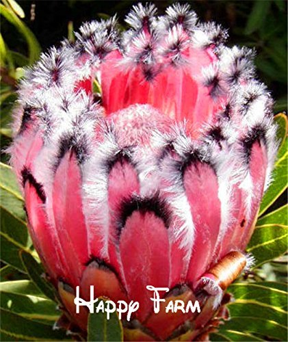 Pink Protea neriifolia seeds, rare flower seeds, garden plant, variety complete, the budding rate 95% - 10 (Pink Protea)