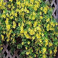 SVI fresco 20PCS Escalada semillas de flores de jazmín para la siembra de amarillo