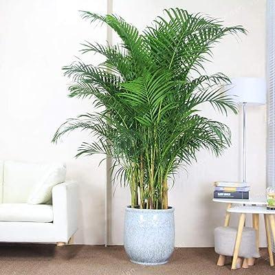 BYyushop Palm Tree Seeds 5Pcs Palm Tree Seeds Plant Home Garden Patio Balcony Yard Bonsai Decoration Palm Tree Seeds : Garden & Outdoor