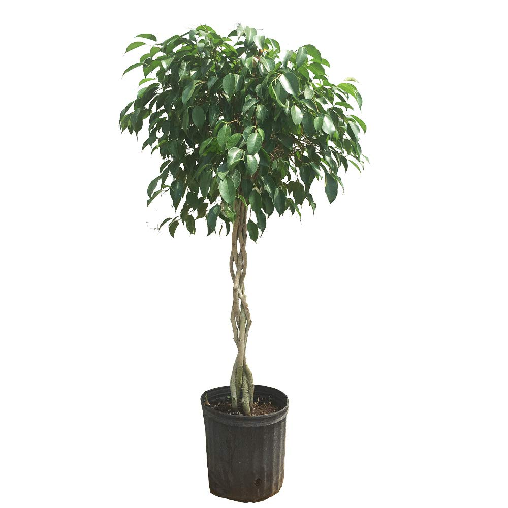 Benjamina Ficus Tree- 2-3 feet Tall in 3 Gallon Pot- Unique Potted Tree, Perfect as a Patio Plant or Indoor Tree