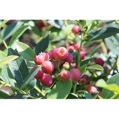 Pink Lemonade Blueberry (Vaccinium) - Live Plant (Full Gallon Pot) : Garden & Outdoor [5Bkhe0206856]