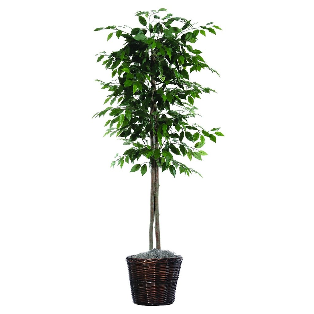 Vickerman 6-Feet Artificial Ficus Tree In Decorative Brown Rattan Basket 2