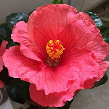 Hibiscus Rosa Sinensis Coral Pink House Plant In13cm Pot Amazonco