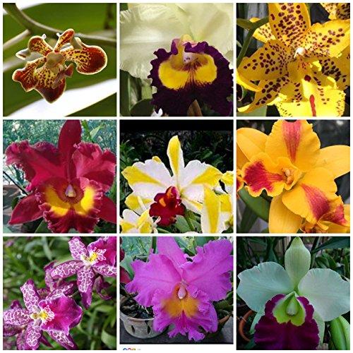 5 Live Orchids + 5 Free Planters +~ (Cattleya, Oncidium, Dendrobium, Vanda, Phalaenopsis ) Angel's ()