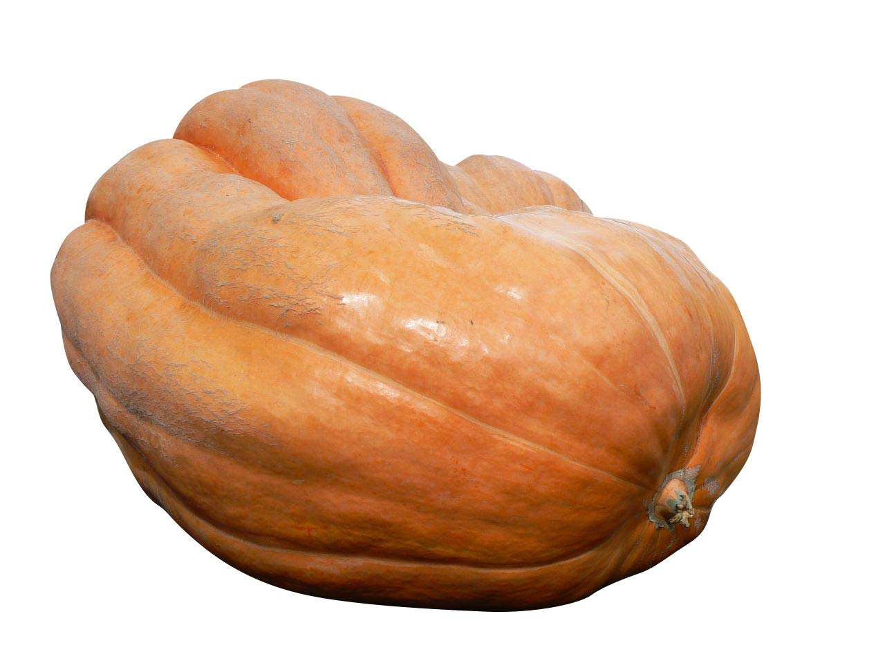 8 x Pumpkin Dills Atlantic Giant Finest Seeds -Seeds from 60-75 kg Atlantic Giant-