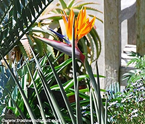 Leafless Bird of Paradise Seeds (Strelitzia juncea) 1+ Rare Seeds + FREE Bonus 6 Variety Seed Pack - a $29.95 Value! Packed in FROZEN SEED CAPSULES for Growing Seeds Now or Saving
