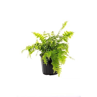 """AMERICAN PLANT EXCHANGE Macho Giant Sword Fern 1 Gallon Live Plant, 6"""" Pot, Indoor/Outdoor Air Purifier : Garden & Outdoor"""