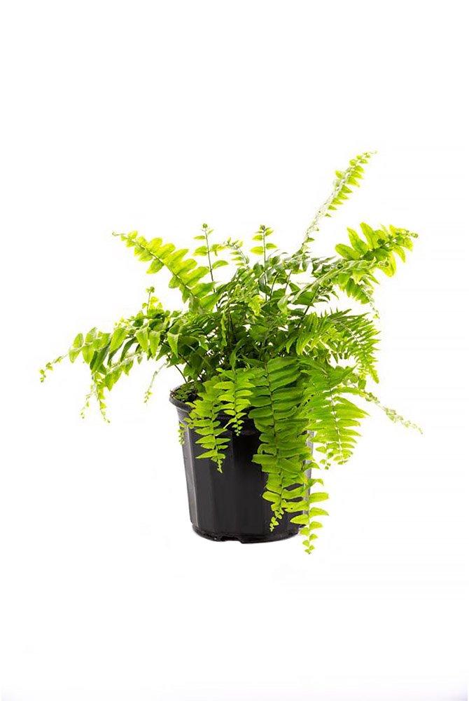 AMERICAN PLANT EXCHANGE Macho''Giant Sword'' Fern 1 Gallon Live Plant, 6'' Pot, Indoor/Outdoor Air Purifier!