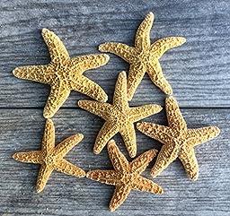 Sugar Starfish | 6 Brown Sugar StarFish 2\