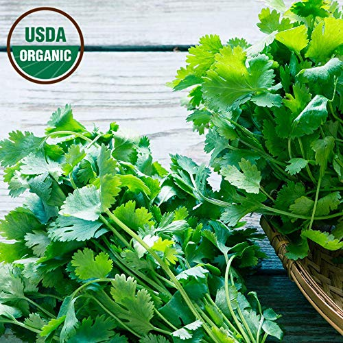 Cilantro Seeds 300+ Organic Seeds Non-GMO High Germination Rate Leisure Coriander Heirloom