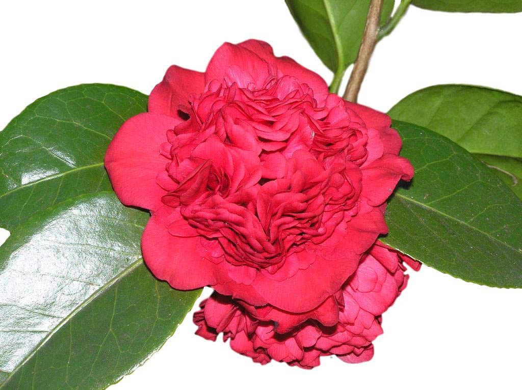 Professor Sargent Red Camellia Japonica - Live Plant - Quart Pot