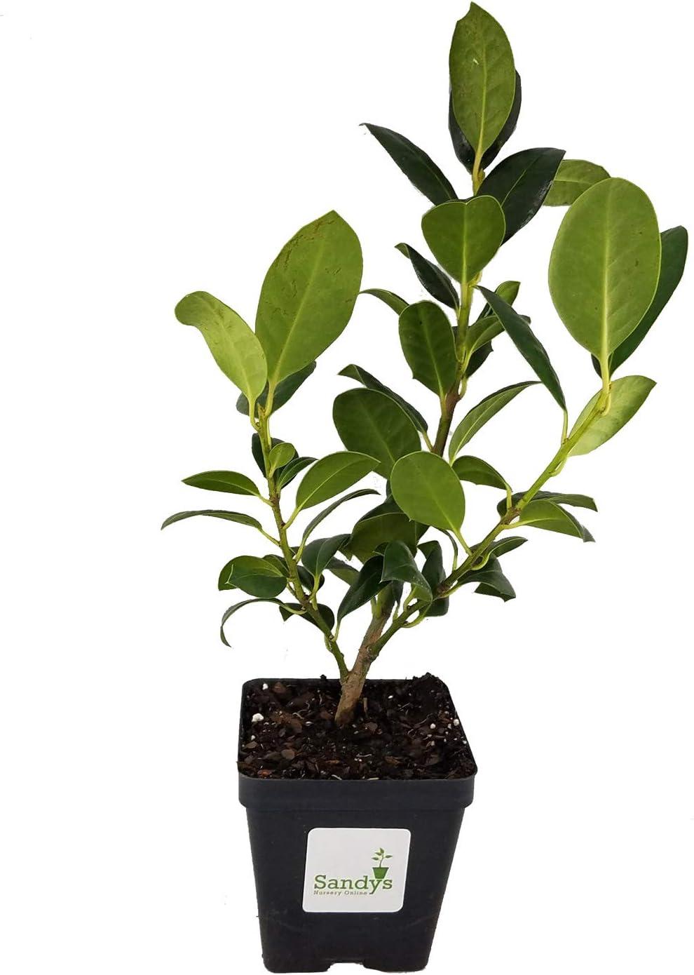 Sandys Nursery Online Ilex Evergreen Shrub, Nellie R Stevens Holly Dark Green Leaves, 4 Inch Pot