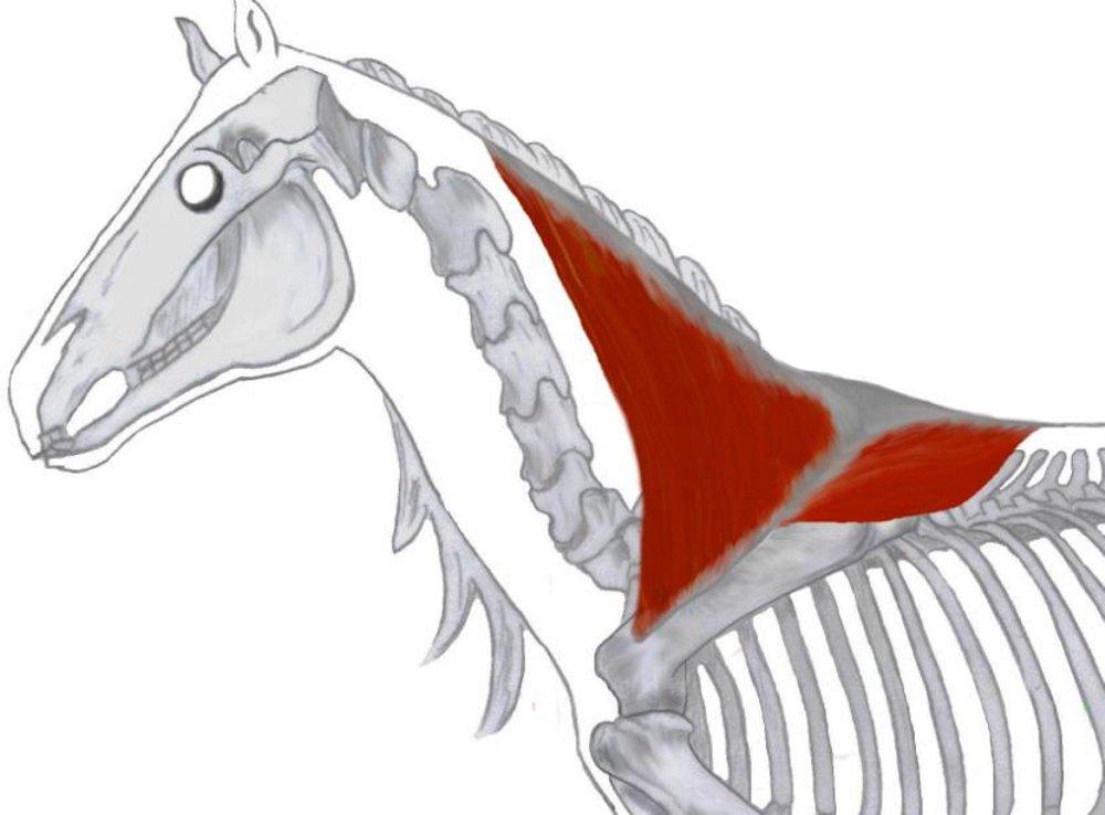 Lernkarten - Muskulatur des Pferdes - Physiotherapie: Amazon.de ...