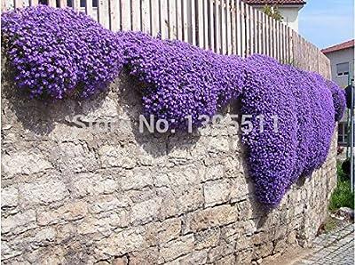 100/rock Cress,aubrieta Cascade Purple Flower Seeds, Deer Resistant Superb Perennial Ground Cover,flower Seeds for Home Garden