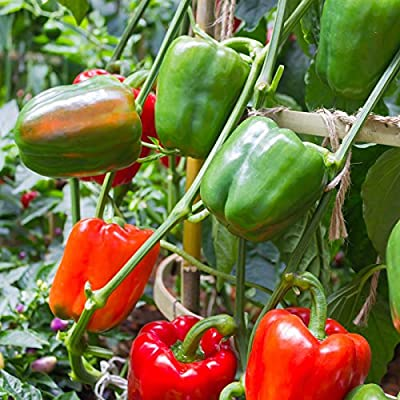 Big Bertha Hybrid Sweet Pepper Garden Seeds - Non-GMO, Vegetable Gardening Seed