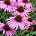 Echinacea Seeds (Echinacea purpurea) 100+ Purple Coneflower Medicinal Herb Seeds in FROZEN SEED CAPSULES for the Gardener & Rare Seeds Collector - Plant Seeds Now or Save Seeds for Years