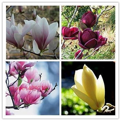 Amazoncom Hot Sale 30 Pcs Magnolia Seed Magnolia Tree Magnolia