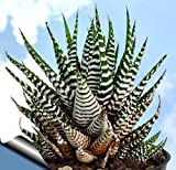 "Zebra Haworthia Plant - Easy to grow/Hard to kill! - 3"" Pot -unique form jmbamboo"