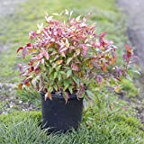 Nandina 'Firepower' Size: 1 Gallon - Live Potted Plants - Nandina domestica 'Fir