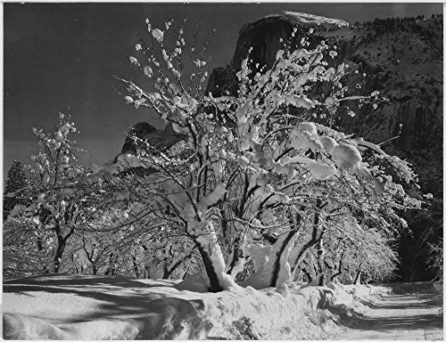 Trees with snow on branches Half Dome Apple Orchard Yosemite California April 1933 1933 Poster Print by Ansel Adams (18 x 24)