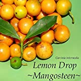 ~LEMON DROP MANGOSTEEN~ Garcinia intermedia YUMMY YELLOW FRUIT Sml Plant