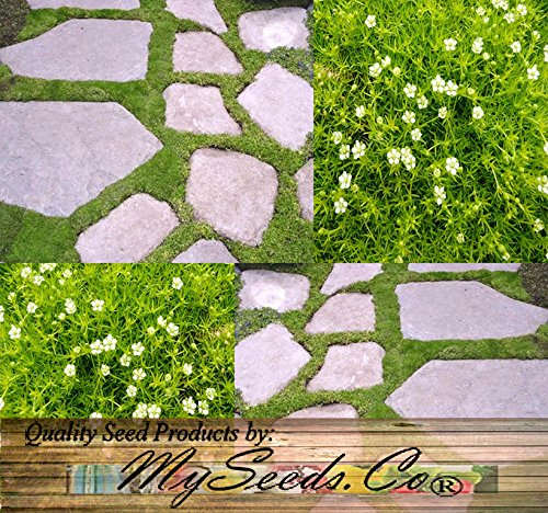 IRISH MOSS SEEDS, Sagina subulata, Heath Pearlwort, Perfect In Garden, Lawn Substitue or In-Between Stones, Groundcover Heath Pearlwort, Zones 4-10 - By MySeeds.Co (5000 Seeds)
