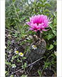 Photographic Print of Fitch s Hedhog Cacuts (Echinocereus fitchii) blooming on bluff above the