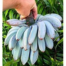 """GRAINES de semences - Extrèmement Rare, Bananier nain en pot """"Blue Java"""""""