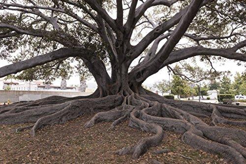 Santa Barbara, CA Photo - Santa Barbara's Moreton Bay Fig Tree located in Santa Barbara, California, is believed to be the largest Ficus macrophylla in the country - Carol Highsmith (Moreton Bay Fig Tree In Santa Barbara)