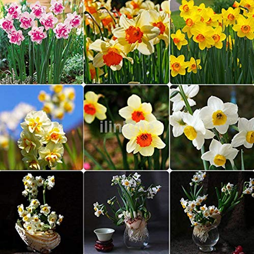 Casavidas Seeds Package: Wholesale Narcissus Duo Bulbs Daffodil Plant Flower Seeds Scented Pastel Hot Us